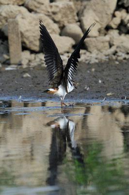 Kiebitz (Vanellus vanellus)