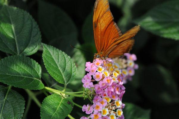 Fackel (Dryas iulia)