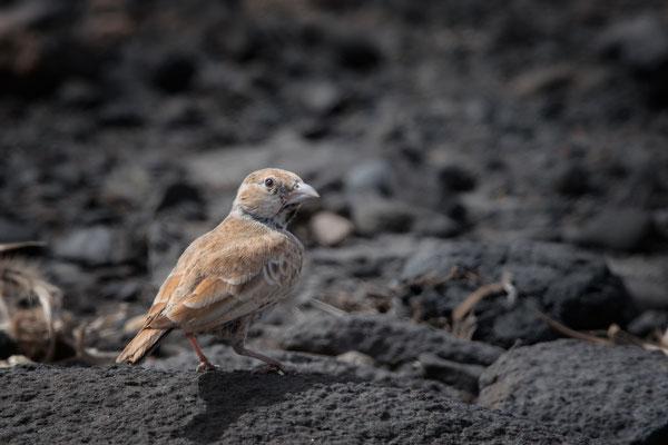 Weissstirnlerche Weibchen, in den Wüstenbereichen der Insel Boavista (thanks Herbert)