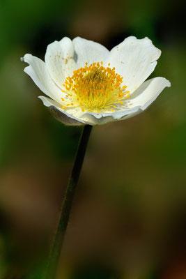 Alpen-Kuhschelle oder Alpen-Küchenschelle (Pulsatilla alpina, Syn.: Anemone alpina L.) ; Grimselpassstrasse; 13.7.13