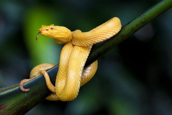 Greifschwanz-Lanzenotter (Bothriechis schlegelii) gelbe Variante; Costa Rica 5/18