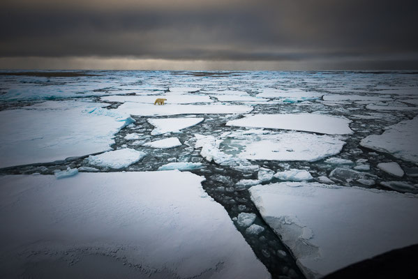 """In der Dämmerung auf den 17.9.2017: Eisbär entschwindet """"in kalten Polar"""""""