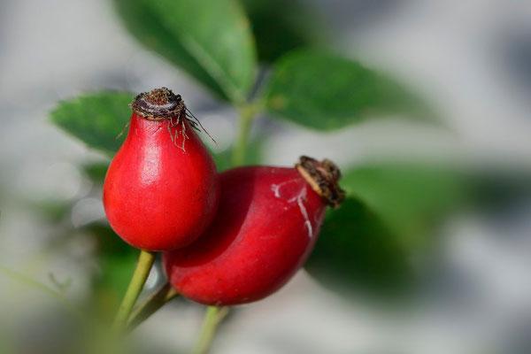 Früchte der Hagrose; 13. Oktober 2013; Jardin Musette