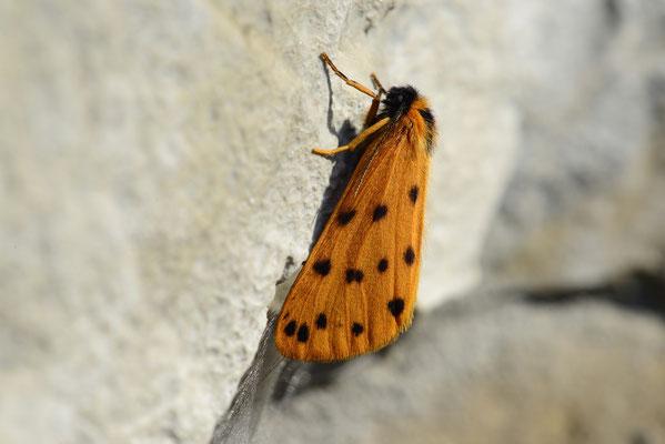 69 Felsenflechtenbär (Setina roscida); Hohtenn (VS); 14.7.2013
