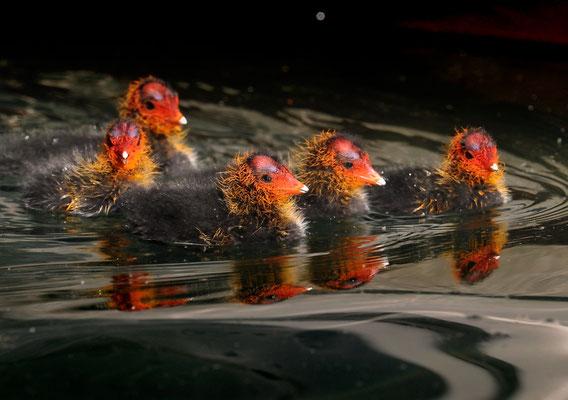 Blässhuhn (Fulica atra) Kücken