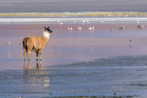 Lama in der Salzlagune 'Laguna Colorada', auch 'Rote Lagune' genannt