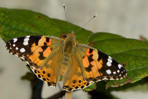 52 Distelfalter (Vanessa cardui); Jardin Musette; 2. August 2014