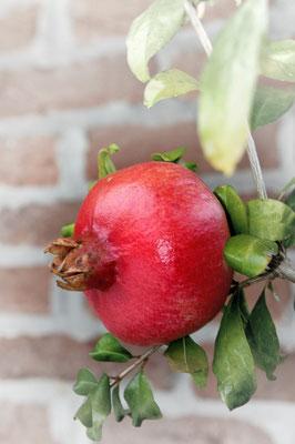 Granatäpfel (Punica granatum); Piemont; 1.10.2015