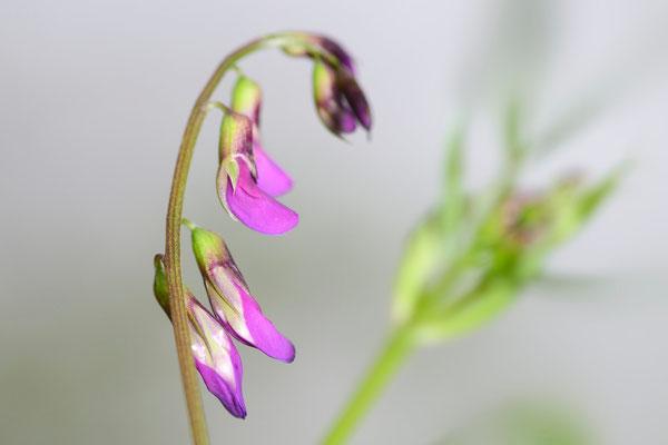 Frühlings-Platterbse (Lathyrus vernus); 4. Mai 2013