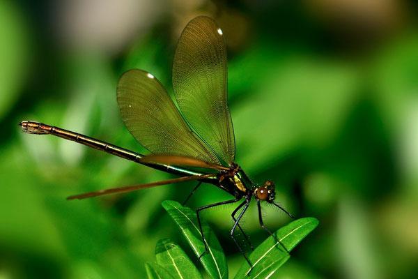 Gebänderte Prachtlibelle (Calopteryx splendens), Weibchen