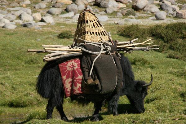 Leh-Manali Transhimalaya: Haustier Yak