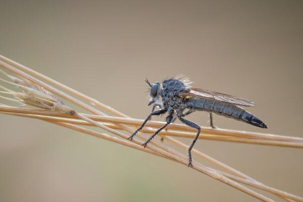 12 - Kerbzangen-Raubfliege, Dysmachus fuscipennis