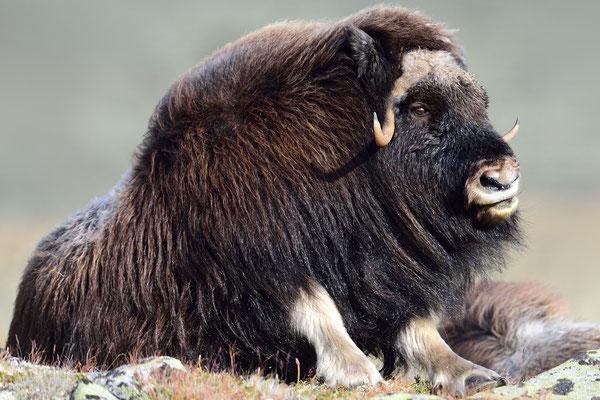 Moschusochse (Ovibos moschatus), Dovrefjell NP, Norwegen