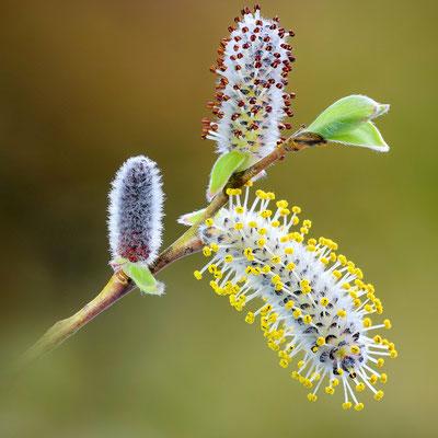 Purpur-Weide (Salix purpurea) ; Reuss; 30. März 2018