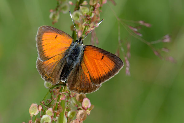 Lilagold-Feuerfalter (Lycaena hippothoe); Juli 2014
