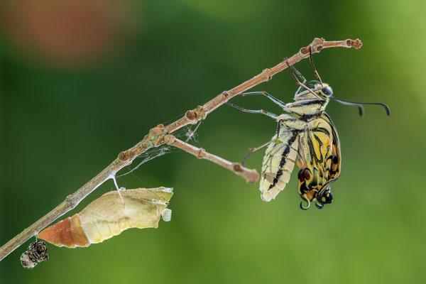 Der Schmetterling beginnt seine Flügel zu entfalten