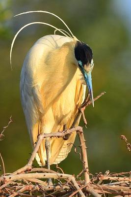 Kappenreiher (Pilherodius pileatus); Pantanal Juli 2016