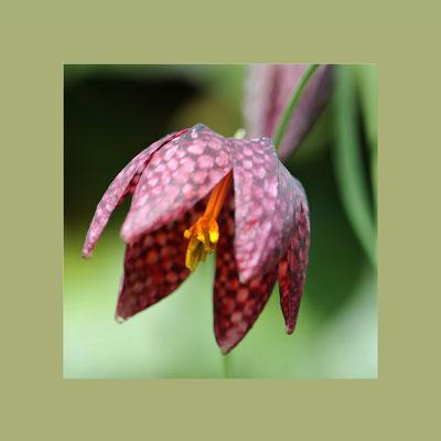 Schachblume (Fritillaria meleagris), auch Schachbrettblume