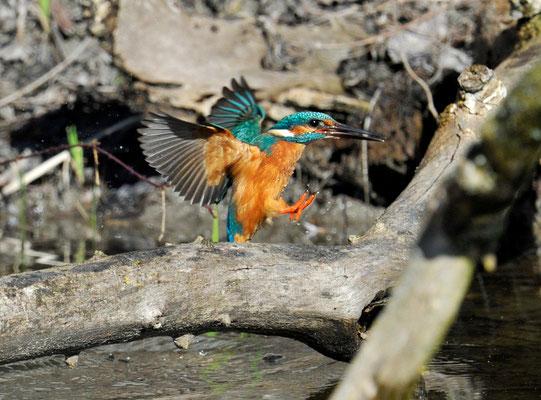 Eisvogel im Anflug