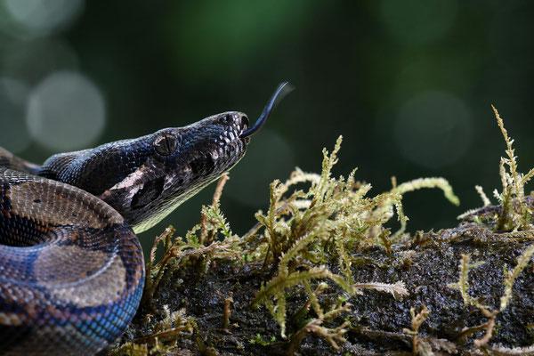 Abgottschlange (Boa constrictor), auch Königsschlange, Königsboa oder Abgottboa