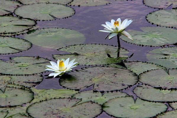 Seerosen am Victoriasee