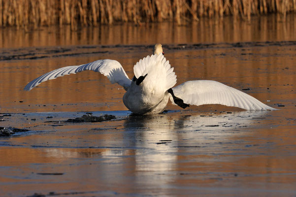 Höckerschwan | Cygnus olor | ; Champ Pittet; 01-14-12; Übungen auf Eis