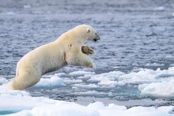 ...kurze athletische Demo: Platz wechseln... (oder: Eisbär-Agility :-))