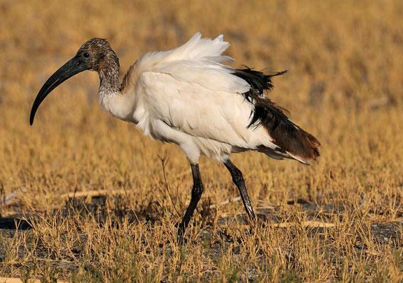 Heiliger Ibis (Threskiornis aethiopicus) Lake Eyasy Tansania