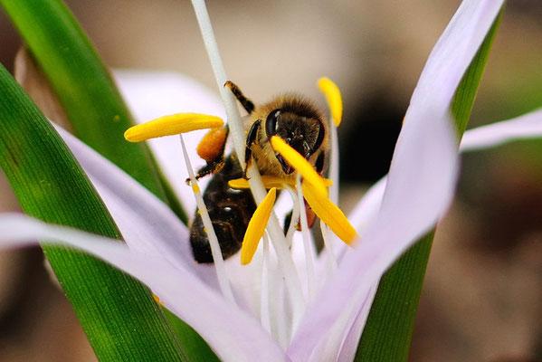 Weisse Lichtblume mit Bienen-Besuch