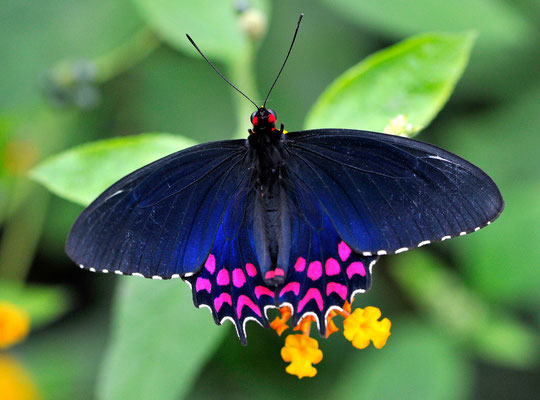 Pink-Spotted Cattleheart (Parides photinus)