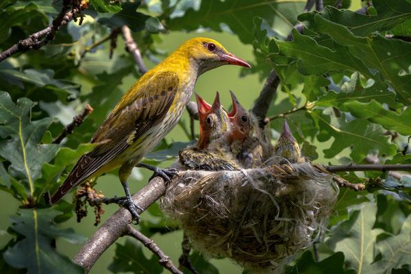 32 - Pirol-Weibchen wartet auf Kotsäckchen