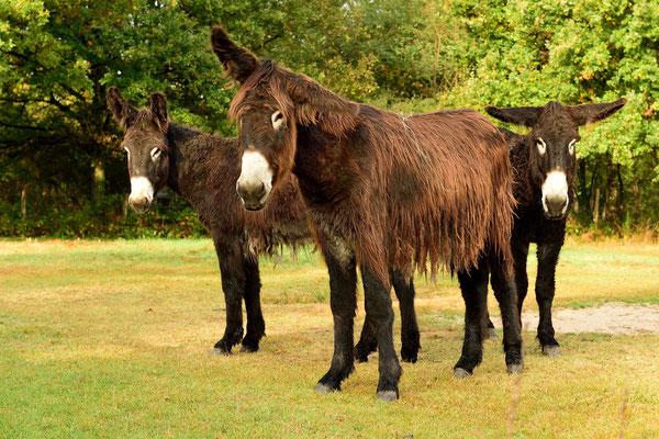 Der Poitou-Esel; gefährdete Großeselrasse, nach dem ursprünglichen (11. Jh.) Verbreitungs-Gebiet Poitou; Route Chambord-Cheverny, unweit des Poitou (Hauptstadt Poitiers)