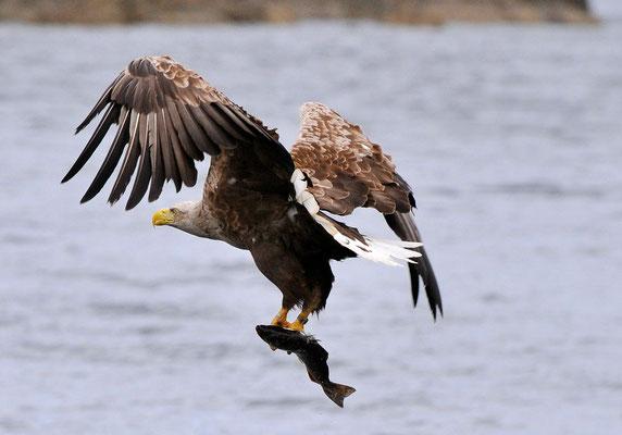 Weissschwanz-Seeadler, Isle of Skye, Schottland