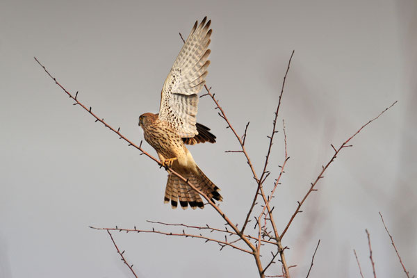Turmfalke | Falco tinnunculus | ; Müntschemier; 26-2-2012