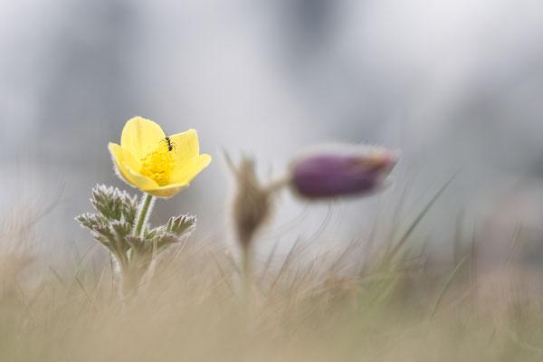 Gelbe Alpen-Kuhschelle, auch Schwefelanemone (Pulsatilla alpina subsp. apiifolia)