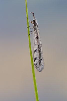 Ameisenjungfer (Myrmeleontidae) ; Hohtenn, Lötschberg Südrampe; 3. August 2015