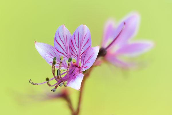 Der Diptam (Dictamnus albus), auch Aschwurz oder Brennender Busch genannt, seit 1936 unter Naturschutz