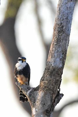 Aplomadofalke (Falco femoralis); Pantanal Juli 2016