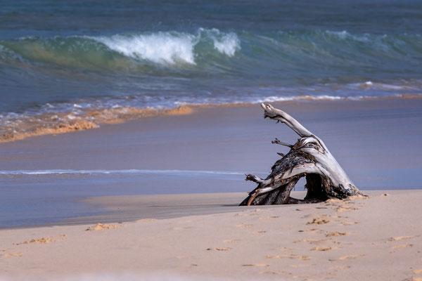 Schwemmholz an der Küste von Boavista