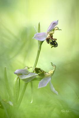 Bienen-Ragwurz (Ophrys apifera); 11. Juni 2020