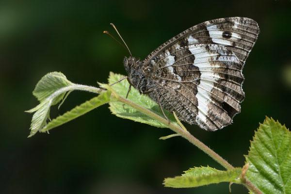 59 Weisser Waldportier (Brintesia circe); Montenegro; Juli 2014