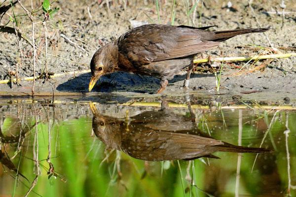 Amsel (Turdus merula); La Sauge; 11-8-2012
