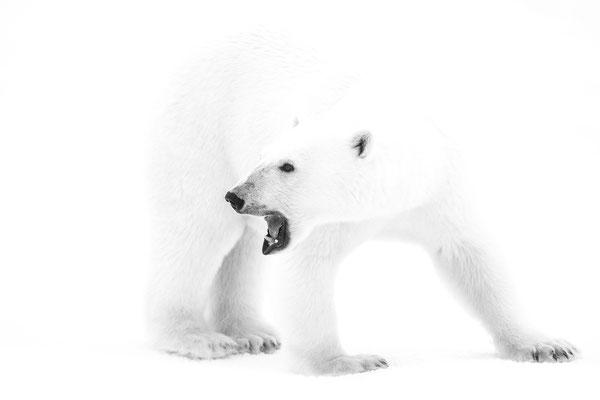 Noch immer der erste Bär; kaum Licht, also high key Versuch; Nacht vom 15. auf den 16.9.2017