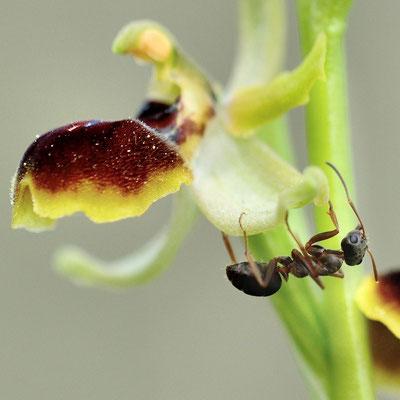 Kleine Spinnen-Ragwurz (Ophrys araneola); Hesseberg AG; 30. April 2016