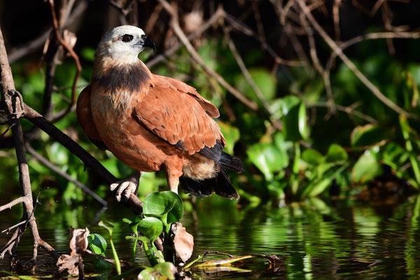 Fischbussard (Busarellus nigricollis); Pantanal Juli 2016