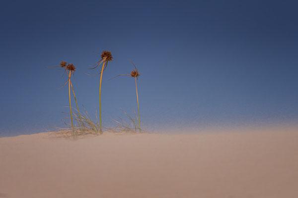 Gräser im verwehten Wüstensand auf Boavista