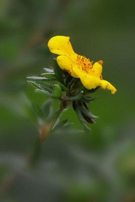 Fingerstrauch (Dasiphora fruticosa)