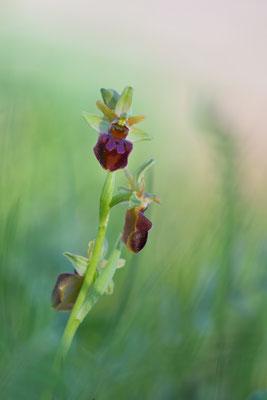 Gewöhnliche Spinenragwurz (Ophrys sphegodes agg.); 2018