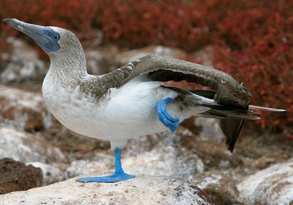 Blaufusstölpel, Galapagos Ecuador