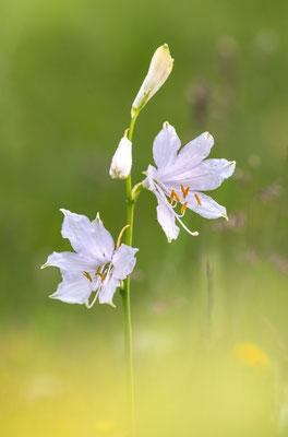 Alpen-Paradieslilie (Paradisea liliastrum), auch Weiße Paradieslilie oder Weisse Trichterlilie